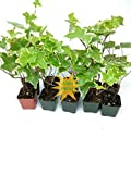 """Jmbamboo - English Ivy Hedera Helix Air Purification Plant - Groundcover - 2 1/4"""" Pot"""