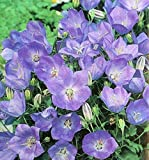 Campanula carpatica (Tussock Bellflower) - makes a good container plant! Sweet!(50 - Seeds)
