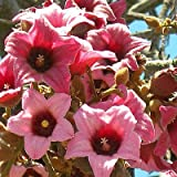Brachychiton discolor PINK FLAME TREE, LACE BARK KURRAJONG Pink Blooms ~SEEDS~