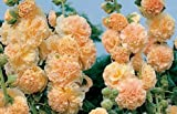 75+ Peaches N Dreams Hollyhock Seeds - DH Seeds - UPC0787639607960