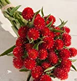 50 Globe Amaranth Seeds - Strawberry Fields, Very Easy To Grow From Seed !,