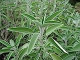 Sage (Salvia Officinalis) Great Garden Heirloom Herb Bulk 1,000 Seeds