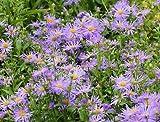 20 Kalimeris indica seeds herb / vegetable CombSH M64