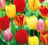 Tequila Sunrise Tulip - 25 Bulbs - Colorful Mix - 12/+ cm Bulbs