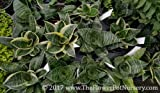 "Green Sansevieria Birds Nest - Sansevieria trifasciata 'Hahnii' - 4"" Pot"