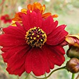 David's Garden Seeds Flower Coreopsis Tall Red SV113 (Red) 500 Non-GMO, Open Pollinated Seeds