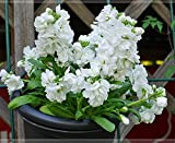 Stock (Matthiola Incana Ten Week White) Gillyflower Night Scented, 40 Seeds