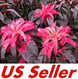Fash Lady 150 PCS Seeds Amaranthus Hypochondriacus G59, Early Splender Stunning Colors