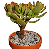 Live Crassula Ovata variegated Lemon and lime Jade great for bonsai or office plant 5-6''