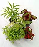 "Jmbamboo-collection-Terrarium & Fairy Garden Plants - 5 Plants in 2"" pots"