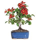 """Brussel's Live Japanese Red Quince Outdoor Bonsai Tree - 3 Years Old; 10"""" to 12"""" Tall with Decorative Container"""