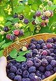 Rubus x neglectus VAR . ´Glen Coe ´ - PURPLE RASPBERRY - 5 fresh seeds