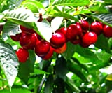 New Sweetheart Cherry Tree, 2'-3' Tall Healthy Fruit Tree - 1 Each