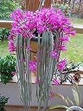 Aporocactus Flagelliformis ~ Discocactus Flagelliformis ~ Stunning Rat Tail Cactus ~ Pink Flowers ~ 5 Seeds ~