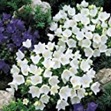 Outsidepride Bellflower Campanula Carpatica White Ground Cover Plant Seed - 5000 Seeds