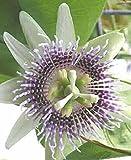 Passiflora ligularis | Sweet Granadilla | Grenadia | 20_Seeds