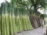 Sugar Cane Seeds * Rum * Syrup * Rock Candy * Sugar Crystals * 6-18 Feet Tall*