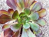 Beautiful Aeonium Cyclops Succulent Drought-tolerant Thriller plant Succulent Arrangement Supplies Landscape Red Green Rosettes Plant Gift