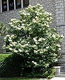 15 Seeds Amur Tree Lilac, Amur Flowering Lilac (Syringa reticulata amurensis)