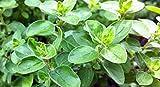 Marjoram Sweet, Heirloom, Organic, NON GOM, (25+) Herb, Majoram Sweet Seeds