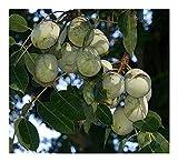 Sclerocarya birrea SSP caffra - Marula - 3 Seeds