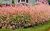 Grow Your Own Japanese Maple Trees(Dappled willow)