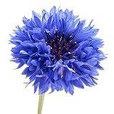 200 Dwarf Bachelor Button Seeds - Cornflower, Centaurea Cyanus - by RDR Seeds