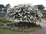 Acoma White Crapemyrtle Tree - Live Plants Shipped 1 to 2 Feet Tall by DAS Farms (No California)