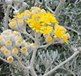 Dusty Miller or Silver Dust starter live plant - Jacobaea Maritima