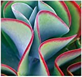 15 x Kalanchoe Thyrsiflora - EXOTIC RARE Flapjacks - xeriscaping mesembs succulents SEEDS - AKA Paddle Plant, Flapjacks, Desert Cabbage, White Lady, Geelplakkie, Meelplakkie, Plakkie - Excellent Greenhouse or House Plant - By MySeeds.Co