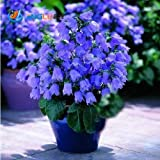 100 Pcs / Bag Flower Seeds,multicolor , (Campanula Percisifolia) Best Plants for Cottage Gardens Tough Perennial Great for Cutti