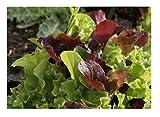 David's Garden Seeds Lettuce Encore Mix SL2369 (Multi) 500 Non-GMO, Organic Seeds