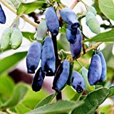 100 pcs Lonicera caerulea edulis Honey Berry Seeds!