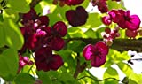 Akebia quinata Seeds- Chocolate Vine, Raisin Vine, Five-Leafed Akebia