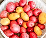 Northshire Farms 5 lbs. Certified Seed Non GMO Red Pontiacs and German Butterballs