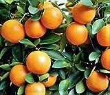 "KUMQUAT TREES 3""- 6"" REAL LIVE PLANTS CITRUS FRUIT TREE LANDSCAPING SAPLING SEEDLING"