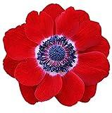 10 Hollandia Anemone Corms - TOP Size 7/8 - Single Red Monarch de Caen Anemones