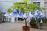 100 pcs/bag brugmansia datura seeds, dwarf brugmansia Angel Trumpets bonsai flower seeds,rare potted plant for home garden 15