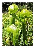 Darlingtonia californica green pitchers - California pitcher plant - 5 seeds