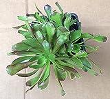 Aeonium arboreum - 3 plants