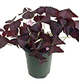 "Rare 'Purple Rain' Shamrock Plant - Easy Houseplant - Oxalis - 4"" Pot"
