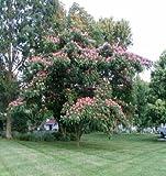 50 Mimosa Tree Seeds, Albizia Julibrissin