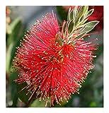 Callistemon citrinus - Crimson Bottlebrush - 100 seeds