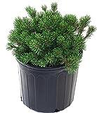 Pinus mugo 'Slowmound' (Slowmound Mugo Pine) Evergreen, #3 - Size Container