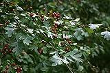 10 Crataegus monogyna Seeds, common hawthorn, single seeded hawthorn
