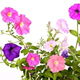 Achimenes Bulbs Pixie Mix - Monkey Face Pansy - Mixed Cupid's Bow Bulbs   Ships from Easy to Grow