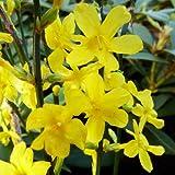 Jasminum nudiflorum HARDY YELLOW JASMINE 1 Plant!