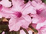 75+ Seeds   Pink Mexican Ruellia Petunia 'Chi Chi'   Hummingbirds   Perennial