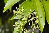 20 Seeds Cinnamomum Tamala, Indian Bay Leaf Seeds, Tejpata Seeds