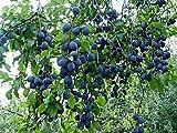Blue Damson Plum Tree - Semi-Dwarf - Edible Fruit Healthy - 1 Bare Root Plant